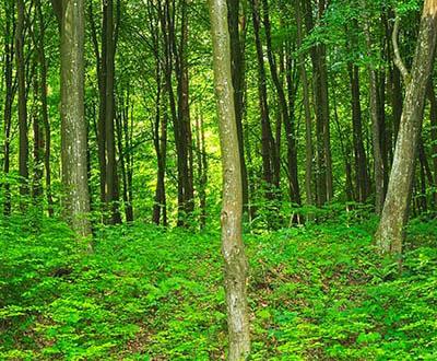 Charme (0 à 2 ans) - Forêt de Pézarches