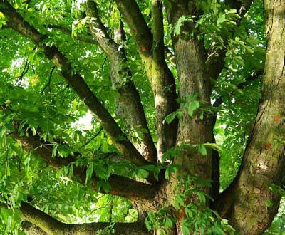 Châtaignier - Forêt de Cleden Poher (29)