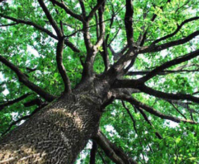 Chêne sessile - Forêt du Morvan (56)