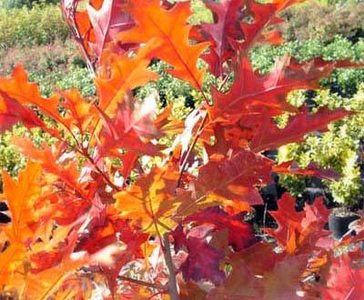 Chêne rouge (0 à 2 ans) - Forêt du Morvan (56)