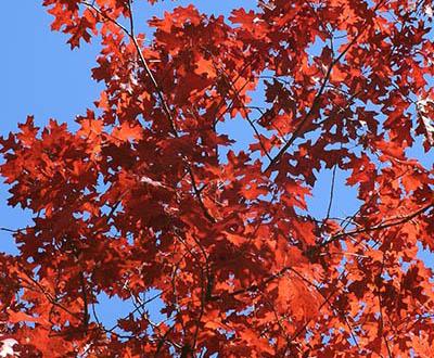 Chêne rouge (0 à 2 ans) - Forêt de Melrand