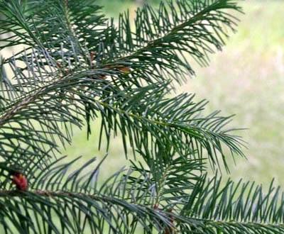 Douglas Jeune plant - Forêt de Melrand