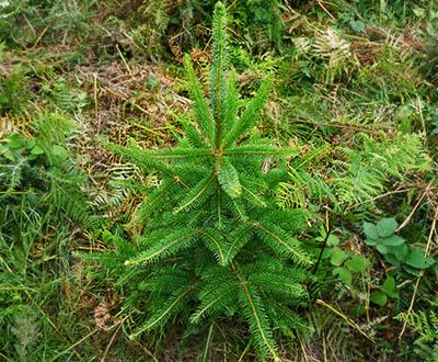 Épicéa de Sitka - Forêt de Lanrivain et Plougernevel (22)