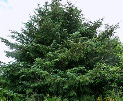 Épicéa de Sitka - Forêt de Pleyben (29)