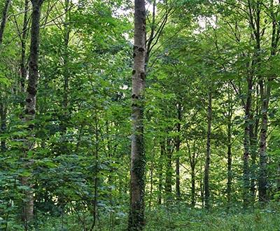 Érable - Forêt de Pleyben (29)