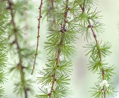 Larch - Cleden Poher Forest (29)