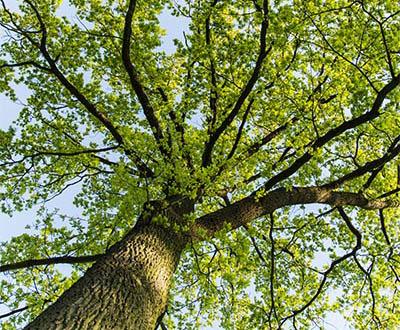 Chêne pédonculé (0 à 2 ans) - Forêt de Pézarches
