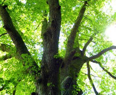 Tilleul - Forêt de Pézarches (77)