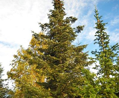 Sapin de Vancouver - Forêt de Pleyben (29)