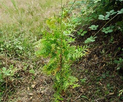 Thuya géant - Forêt de Kerautret (56)