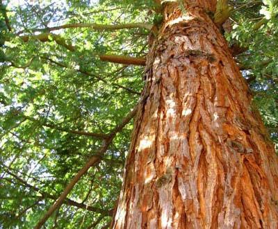 Thuya géant Jeune plant - Forêt de Mariaker